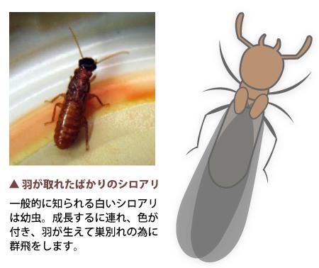 シロアリの画像 p1_11
